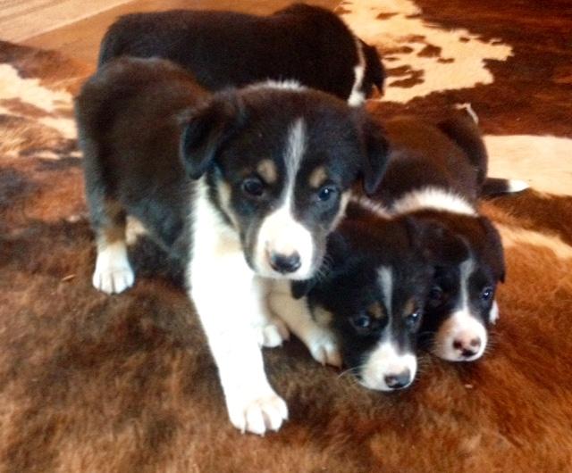 Border Collie Puppies Williams Livestock